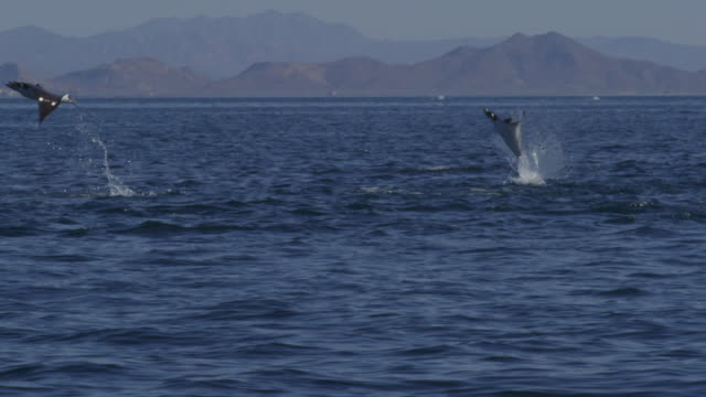 SLOMO 2 Mobula Rays leaping from water in profile with shoreline in distant background