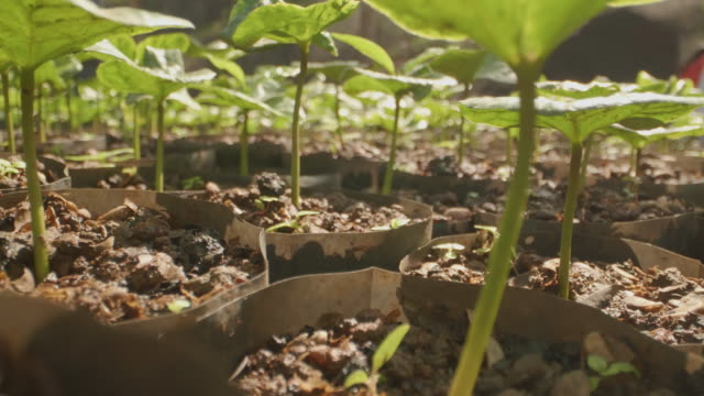 mocro dolly shot : take coffee seedlings that are cultivated to be planted. - crop plant stock videos & royalty-free footage
