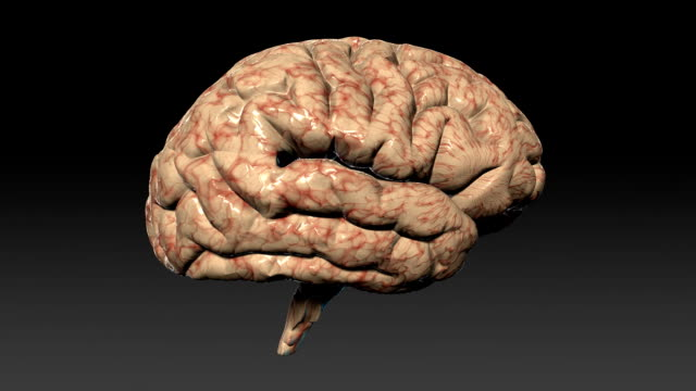 A model of the brain rotates.