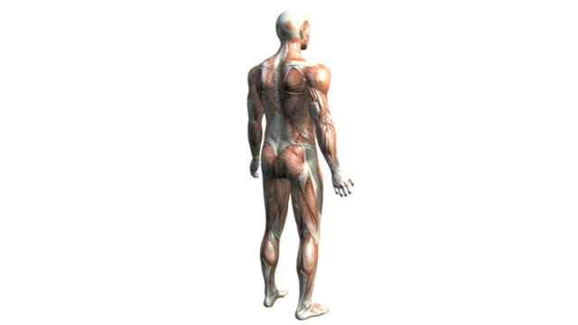 a model of the male body revealing the muscular system, is rotated as the camera pans down.  the musculature then dissolves revealing the cns, lymphatic and cardiovascular systems.  the camera zooms i - sistema linfatico video stock e b–roll