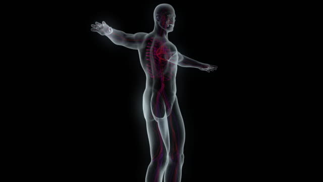 model of x-ray male body - vena video stock e b–roll
