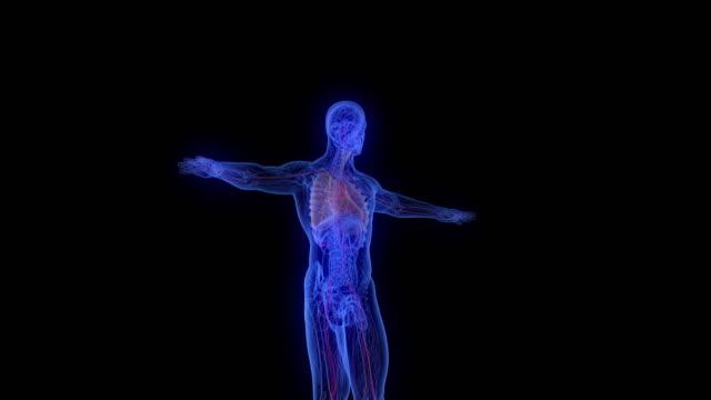 modello di corpo maschile a raggi x - human body part video stock e b–roll
