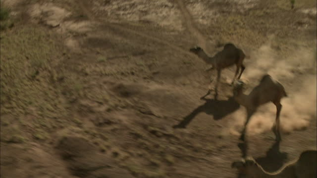modern camel herding in australia - ラクダ点の映像素材/bロール