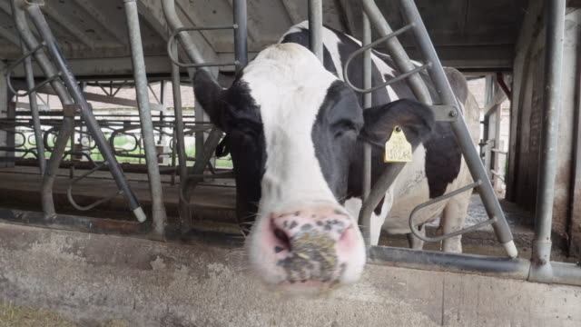 modern diary farm. livestock ranch. dairy cows. farmer checking on the cattle in the barn. - westernisation stock videos & royalty-free footage
