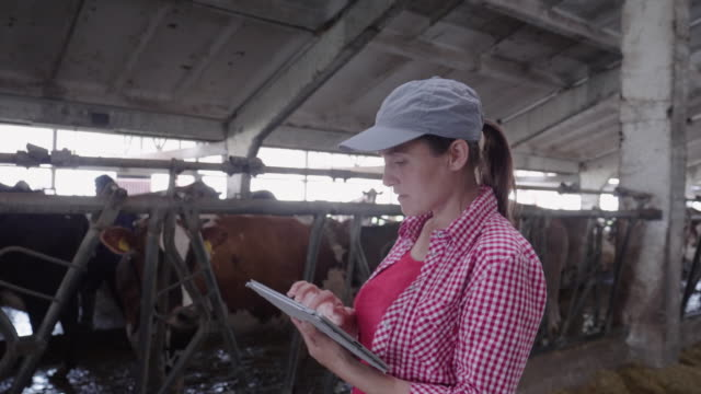modern diary farm. livestock ranch. dairy cows. farmer woman checking on the cattle in the barn. - herbivorous stock videos & royalty-free footage