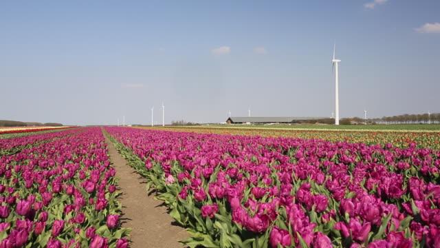 A modern take on that classic Dutch scene of tulip fields and windmills. A wind farm near Almere, Flevoland, Netherlands amongst tulip fields.