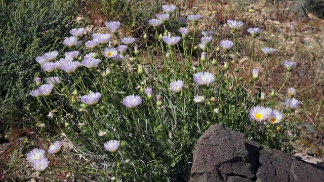 Mohave Aster, Xylorhiza tortifolia, Joshua Tree National Park