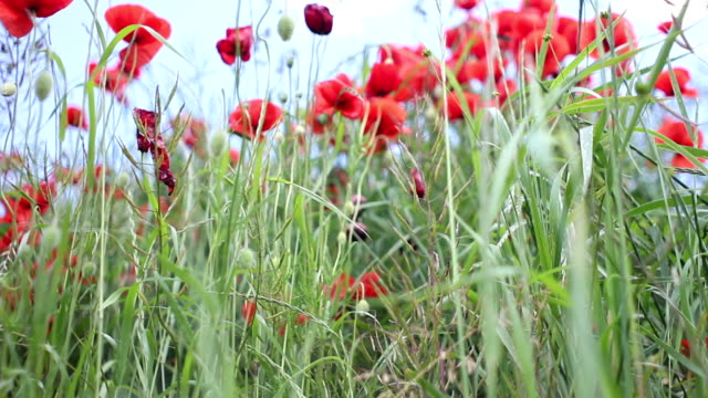 stockvideo's en b-roll-footage met mohn papaver - wiese