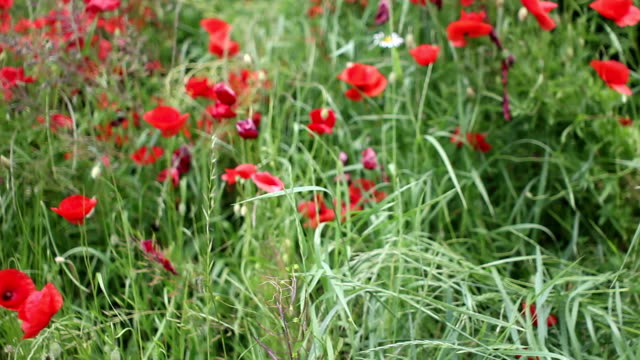 mohn poppy - wiese stock videos & royalty-free footage