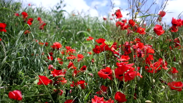 stockvideo's en b-roll-footage met mohn poppy - wiese