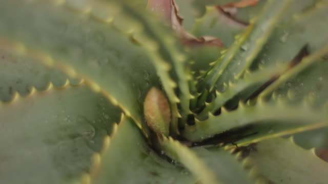 Moisture on aloe vera plant, close up
