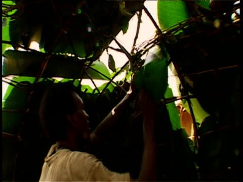 mokoko men make tudi hut with saplings and flat leaves babongo gabon - erektion stock-videos und b-roll-filmmaterial