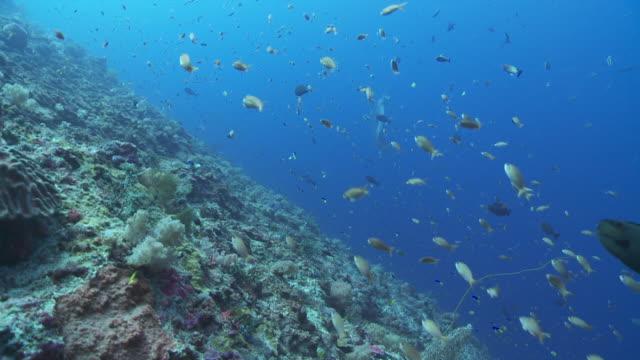 stockvideo's en b-roll-footage met ms mola mola being cleaned along side reef / nusa lembongan, klungkung, indonesia - klompvis