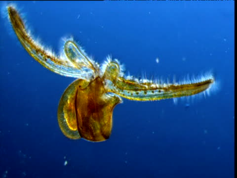 mollusc larva waves cilia covered arms to feed, bermuda - struttura cellulare video stock e b–roll