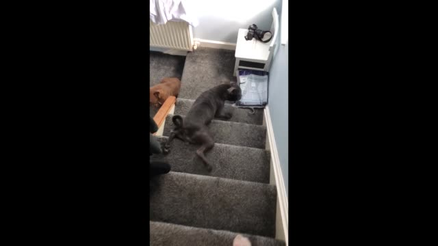 molly the staffordshire bull terrier slides down the stairs in this priceless footage. too funny! - staffordshire england stock videos & royalty-free footage