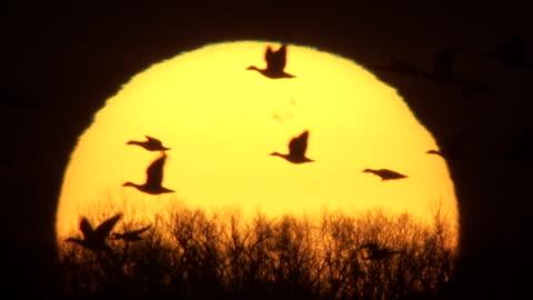 a molten sun silhouettes flying snow geese. - astronomi bildbanksvideor och videomaterial från bakom kulisserna
