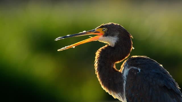 vídeos y material grabado en eventos de stock de ecdisis inmaduras garza tricolor con plumas de ganso de pico - cuello de animal