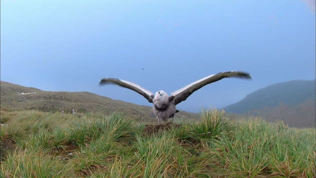 vidéos et rushes de molting wandering albatross (one of the largest bird in the world) flapping alone - aile d'animal