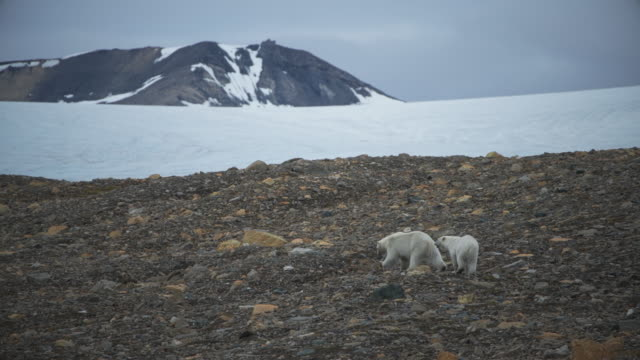 vídeos y material grabado en eventos de stock de mom and a cub polar bears at spitsbergen - clima polar