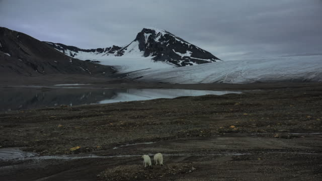 mom and a cub polar bears polar bears at spitsbergen - extreme terrain stock videos & royalty-free footage