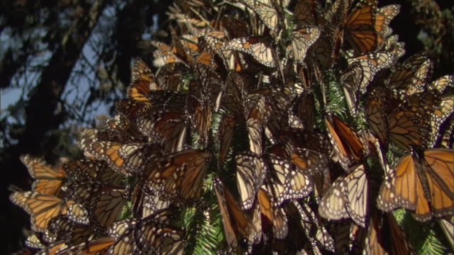 cu zi monarch butterflies cluster on tree / el rosario monarch butterfly biosphere reserve, michoacán, mexico - michoacán video stock e b–roll