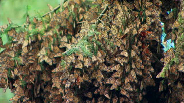 Monarch butterflies cluster together on a tree branch Available in HD.