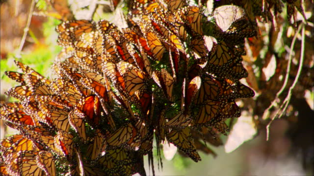 Monarch butterflies cluster together on a tree branch. Available in HD.
