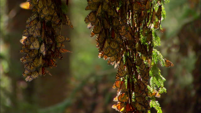 Monarch butterflies cluster together on tree branches. Available in HD.
