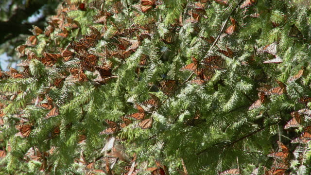 cu monarch butterflies (danaus plexippus) clustered on fir tree branch / angangueo, michoacan, mexico - michoacán video stock e b–roll
