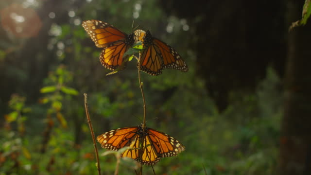 3 monarch butterflies flapping on tip of branch and one takes off - three animals stock videos & royalty-free footage
