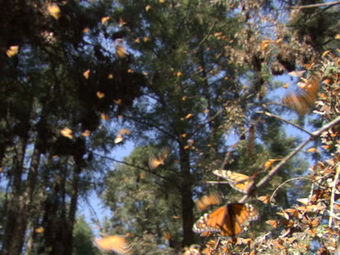 monarch butterflies fly around the branches of a tree. - michoacán video stock e b–roll