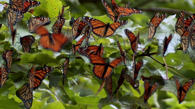 cu monarch butterflies gathered on maple tree for migration  / madoc, ontario, canada - farfalla monarca video stock e b–roll