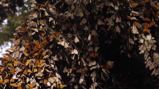 tl monarch butterflies in forest overwintering site, mexico - farfalla monarca video stock e b–roll