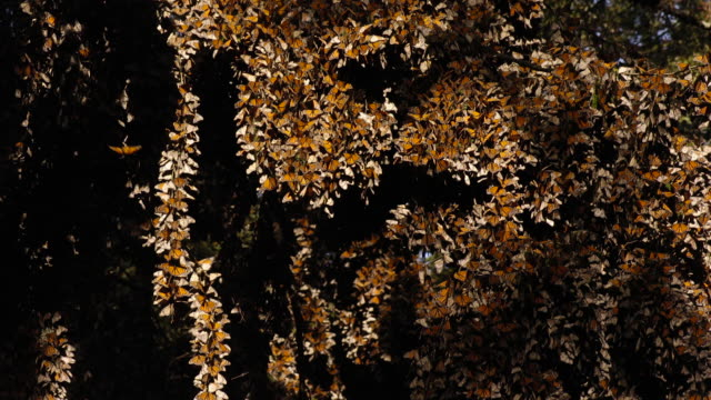 vídeos de stock, filmes e b-roll de tl monarch butterflies in forest overwintering site, mexico - artrópode