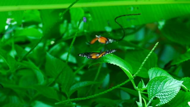 vidéos et rushes de monarch des papillons dans l'amour, super slow motion picture - coup de foudre
