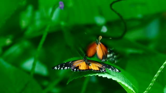 vídeos de stock, filmes e b-roll de monarch borboletas em amor super câmera lenta - amor à primeira vista