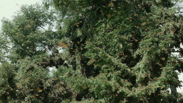 ws la monarch butterflies (danaus plexippus) in trees / angangueo, michoacan, mexico - michoacán video stock e b–roll