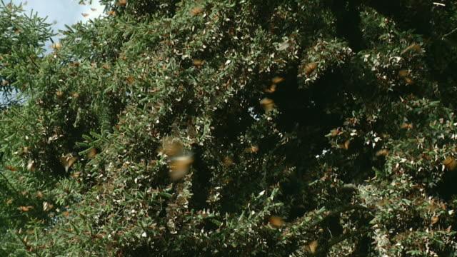 WS LA ZO Monarch Butterflies (Danaus plexippus) in Trees / Angangueo, Michoacan, Mexico