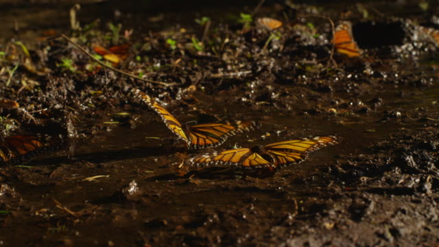 MS Monarch Butterflies on ground flapping wings and taking off