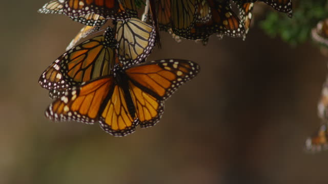 ms monarch butterflies on tree branch flapping wings - monarch butterfly stock videos & royalty-free footage