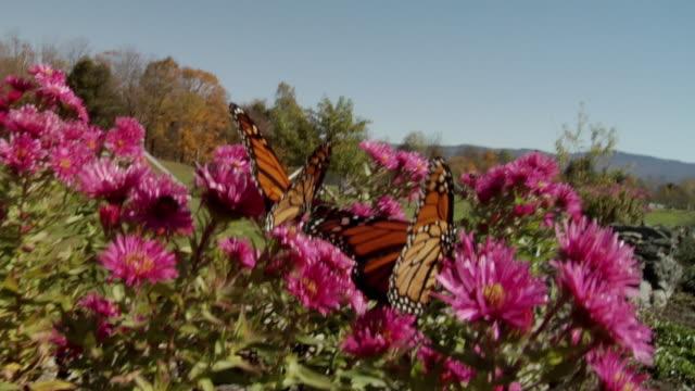 cu 2 monarch butterflies (danaus plexippus) pollinating pink flowers / stowe, vermont - stowe vermont stock videos & royalty-free footage