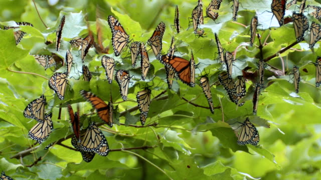 CU Monarch butterflies resting on maple tree during migration / Madoc, Ontario, Canada