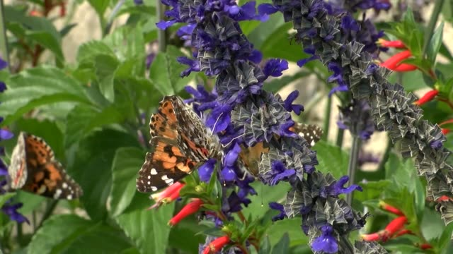 Monarch butterflies seen swarming flowers in suburban south Denver area of Colorado in late September