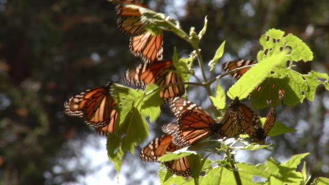 cu monarch butterflies (danaus plexippus) sitting on branch / angangueo, michoacan, mexico - michoacán video stock e b–roll