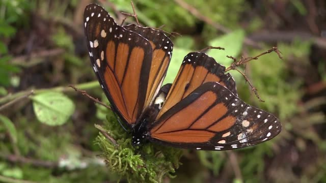 monarch butterflies wintering in mexico could nearly quadruple in number this year thanks to actions taken by the united states mexico and canada to... - thursday stock videos & royalty-free footage