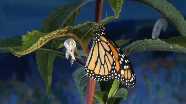MS, Monarch butterfly (Danaus plexippus) and empty chrysalis on twig, Halifax, Nova Scotia, Canada