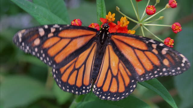 CU, Monarch butterfly (Danaus plexippus) and Postman Butterfly (Heliconius melpomene) on flower