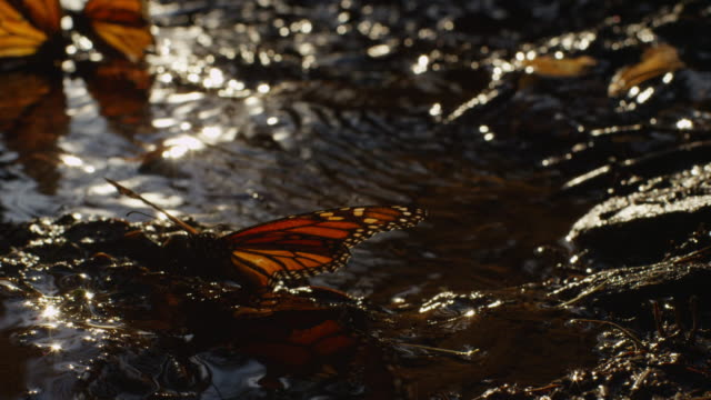 ms monarch butterfly by pool flapping wings and taking off - farfalla monarca video stock e b–roll