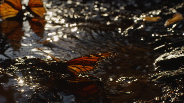 MS Monarch Butterfly by pool flapping wings and taking off