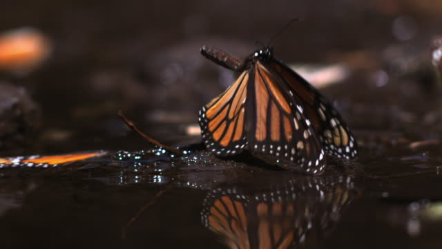 slomo ms monarch butterfly by pool flapping wings and taking off - insetto video stock e b–roll